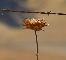 Dry Thistle by HanieBCreations