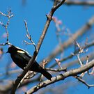 R3-Red Winged Blackbird by deedster