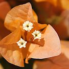 Orange Bougainvillea by Emma Holmes