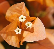 Orange Bougainvillea by Emma Holmes