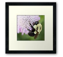 Bumble Bee close up Framed Print
