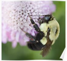 Bumble Bee close up Poster