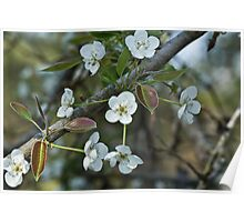 Pear Blossoms 3 Poster