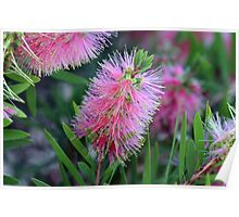 Callistemon ~ Pink Bottle Brush Poster