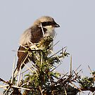 Grey-backed Fiscal by Carole-Anne