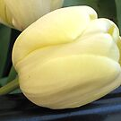 Leaning Tulip by Patricia127