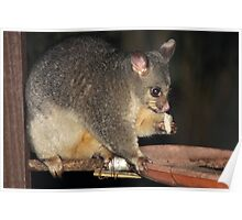 Young Female Brushtail Possum Eating Poster