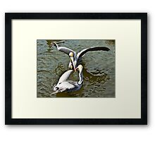 Pelican fight Framed Print