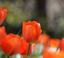 Red orange tulips by bubblenjb