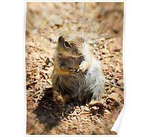 Ground Squirrel  Poster