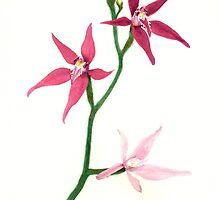 Pink Fairy Orchid (Caladenia latifolia) by PaulM