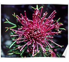 Red Isopogon Flower near Ongerup Western Australia 19820901 0016 Poster