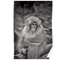 Bartender! Another drink please.  Snow Monkeys Poster