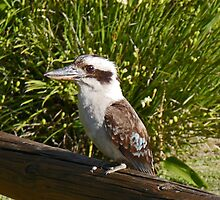 Kookaburra at Tangalooma by Margaret  Hyde