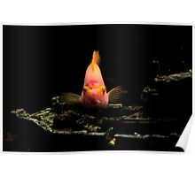 parrot fish     Poster