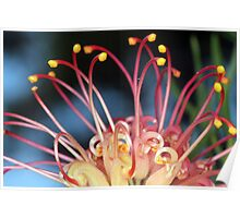 Colours of the rainbow Grevillea Poster