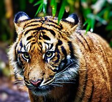 Tigeress Hunter. by LJ_©BlaKbird Photography