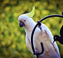 Sulphur-Crested Cockatoo by Alison Hill