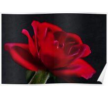 Red Rose Macro Poster