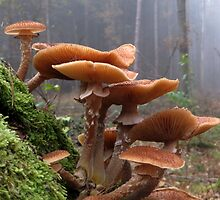 Honey fungus by ienemien
