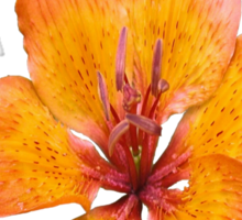 Coral Lily on White Sticker