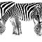 Three zebras in monochrome by arodericks