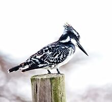 Pied Kingfisher  Ceryle rudis by Warren. A. Williams