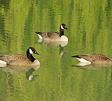 Three Canada Geese Posing Like Statues amid Reflections by Gerda Grice