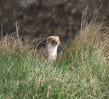 Stoat Basking in the sun by Jackie Wilson