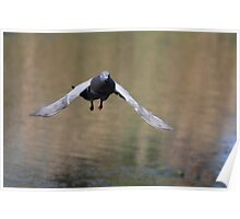 Pidgeon On The Move Poster