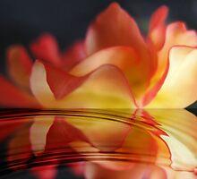 Rose Reflection by photoworksbyjd