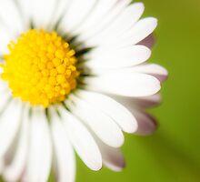 Spring Daisy by toby snelgrove  IPA