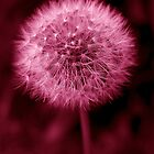 Pink Dandelion by redown