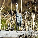 "Great Blue ""awk!"" Heron by amontanaview"