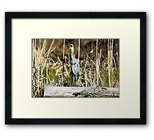 "Great Blue ""awk!"" Heron Framed Print"