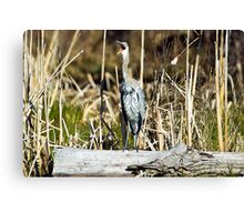 "Great Blue ""awk!"" Heron Canvas Print"