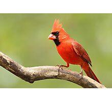 My favorite Cardinal Photographic Print