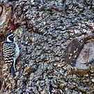 Hairy Woodpecker by Diego Re