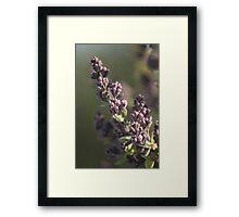 Lilac Plums Framed Print