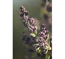 Lilac Plums Photographic Print