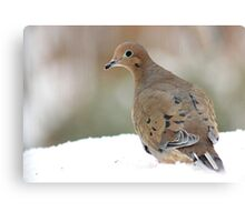 Mourning dove in the snow Canvas Print