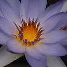 Water Lily by Steven Guy