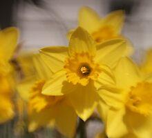 Daffodils by photojunkie2009