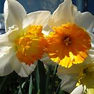 Glorious Daffodils by MarianBendeth