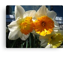Glorious Daffodils Canvas Print