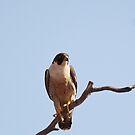 Peregrine Falcon by EnviroKey