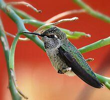 Hummingbird Nap Time  by Saija  Lehtonen