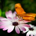 Julia Butterfly on a Daisy  by Saija  Lehtonen