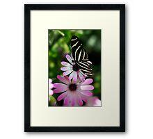 Zebra Longwing on a Daisy  Framed Print