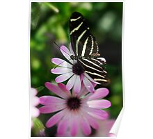 Zebra Longwing on a Daisy  Poster